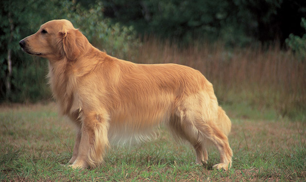 Golden Retrievers Dog
