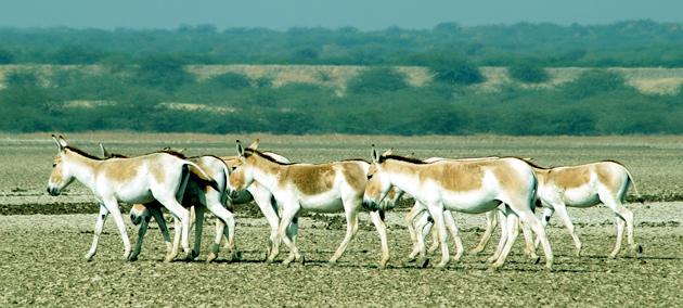 Indian Wild Ass Sanctuary, Gujarat