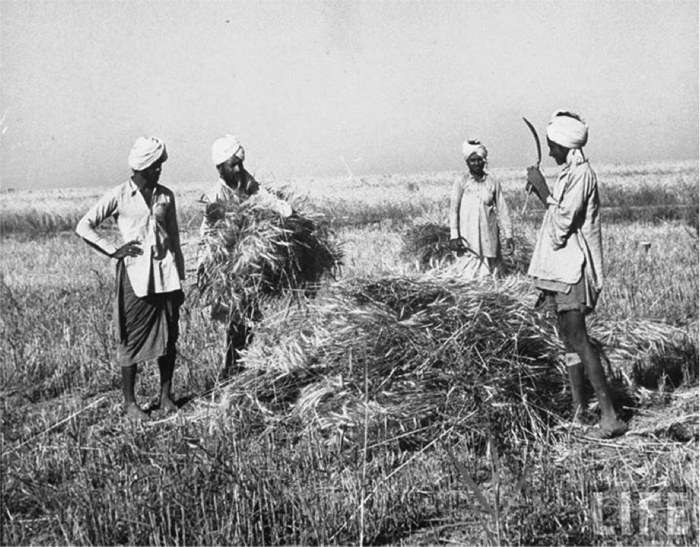 Indian farmers harvesting
