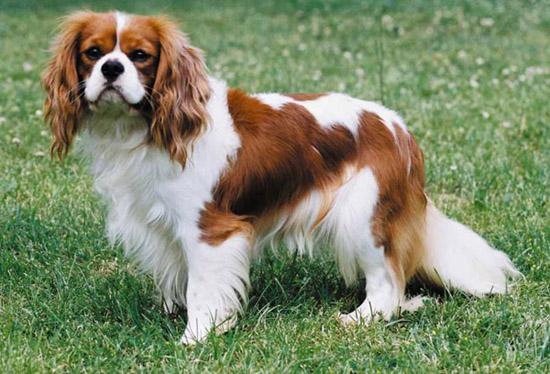 King Charles Cavalier Dog