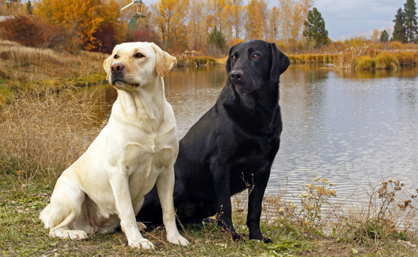 Labradors Dog breed